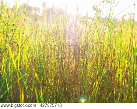 The Beautiful Picture Of The Grass In The Field With The Sunbeams. Selective Focus, Summer Or Autumn