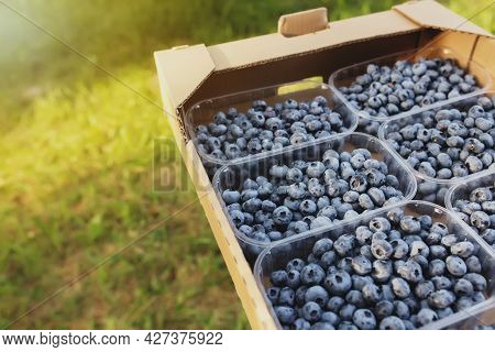 Senior Man Hands Holding Box With Fresh Cultivated Blueberry. Healthy Eating And Alzheimer Or Dement