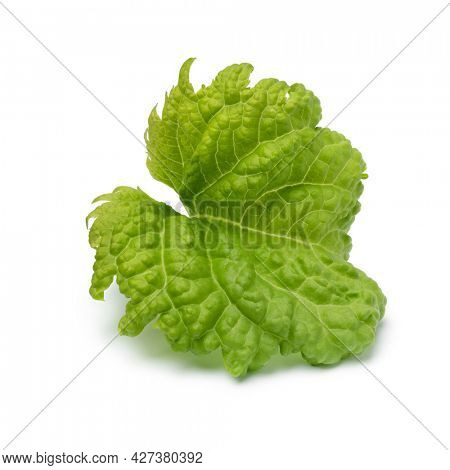 Single leaf of an organic Basil Green Ruffles plant isolated on white background