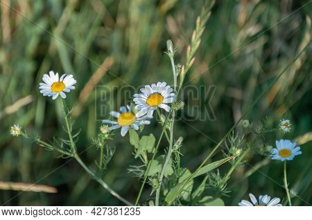 Daisy In A Lawn. White Chamomiles On Green Grass Background. Daisy Meadow