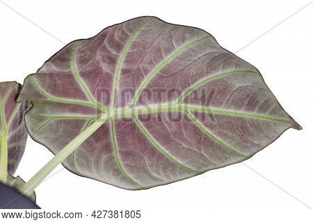 Lower Red Side Of Leaf Of Tropical Houseplant With Botanic Name 'alocasia Reginula' Isolated On Whit