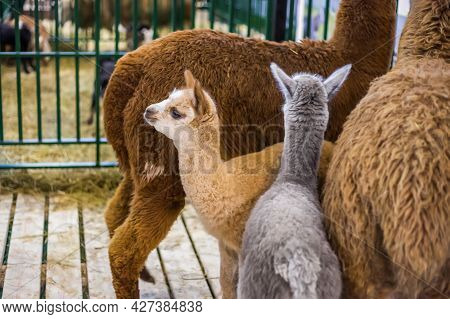 Portrait Of Cute Little Alpacas At Agricultural Animal Exhibition, Trade Show. Farming, Family, Agri