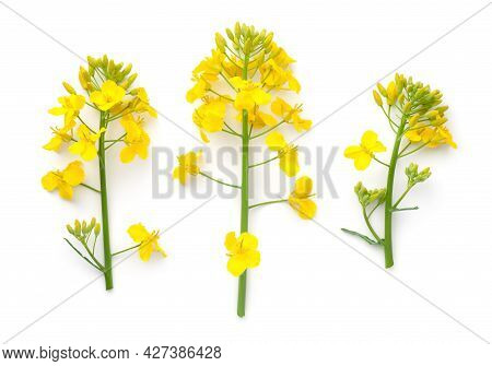Rapeseed Flowers Isolated Over White Background. Brassica Napus. Top View