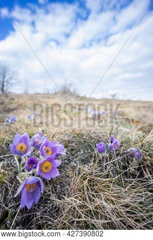 Pasque flower, National park Podyji, Southern Moravia, Czech Republic