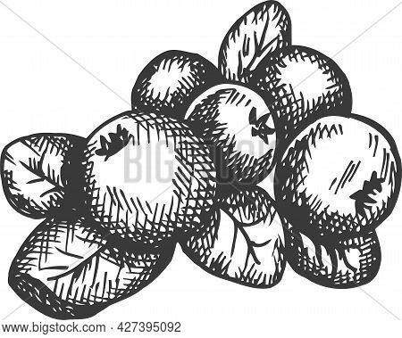 Cranberry Hand Drawn Vector. Sketch Of Fruit Vector Illustration. Berry In Vintage Style