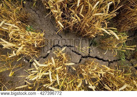 Drought And Bad Harvest - Parched Land On Crops Field Due To Hot And Dry Summer
