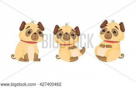 Cute Pug Dog Puppy With Red Collar In Sitting Pose Vector Set