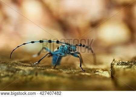 Alpine Longhorn Beetle, Rosalia Alpina longicorn in a forest in Hungary. Insect macro in the woods