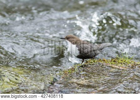 Norwegian National Bird, White-throated Dipper, Cinclus Cinclus  Standing On The Rock In The River D