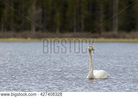 Large White Bird, Whooper Swan, Cygnus Cygnus Swimming In The Lake During Light Rainfall In Finnish