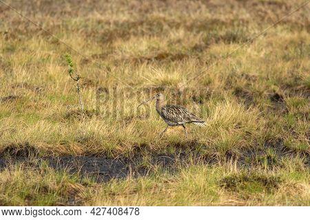 Eurasian Curlew, Numenius Arquata Walking In The Wetland In Finnish Nature
