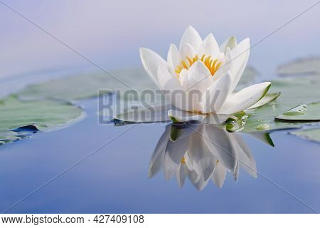 Beautiful Flower Of A White Water Lily And Reflection On The Water Surface. Nymphaea Alba. Close Up.