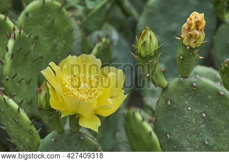 Beautiful Blooming Yellow Flower Of Prickly Pear Cactus.