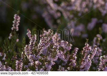 Blooming Heather (calluna Vulgaris) In Estonian Wetland
