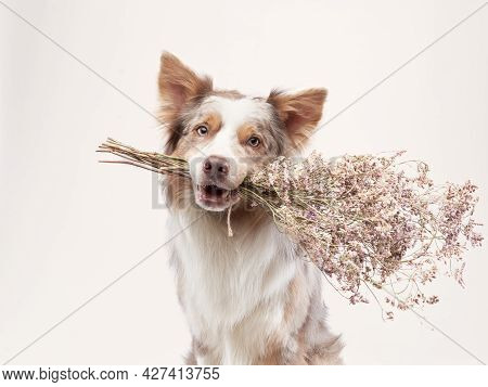 The Dog Holding Flowers In His Teeth. Happy Border Collie On A Beige Background In Studio. Holiday P