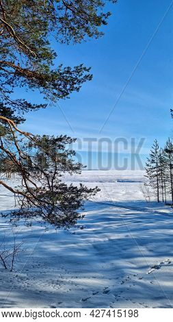 Pine Trees On The Shore Of Lake  In Winter