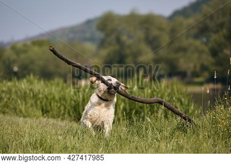 Happy Dog Playing On Meadow. Funny Labrador Retriever Runnig With Long Stick In Mouth During Sunny D