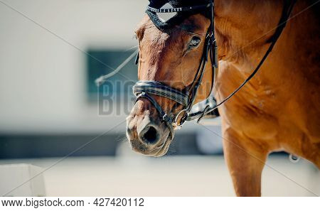 Portrait Sports Red Stallion In The Bridle. Horse Muzzle Close Up. Dressage Of Horses. Equestrian Sp