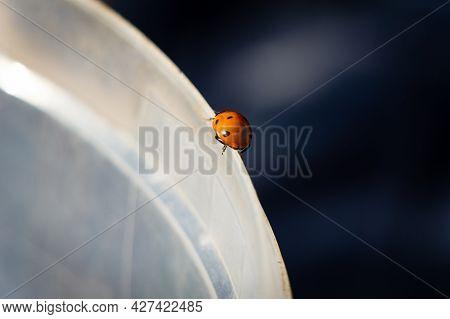 The Ladybug Crawls Along The Border Of White And Black. A Ladybug Runs Along The Edge Of A White Buc