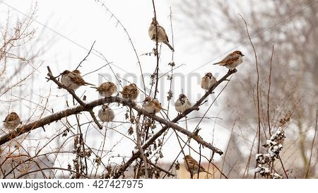 A Flock Of Sparrows Sits On Dry Branches Of A Tree In Winter In Severe Frost. Birds In Winter