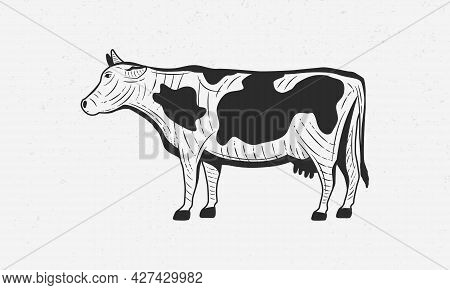 Engraving Cow Isolated On White Background. Vintage Cow, Beef Design For Logo, Poster, Label, Emblem