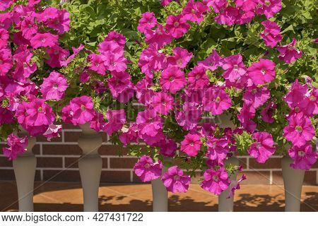 A Cascade Of Pink Surfinia Flowers Trailing Along The Balcony