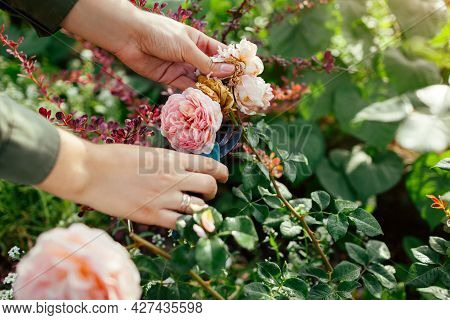 Woman Deadheading Spent English Rose Hips In Summer Garden. Gardener Cutting Wilted Flowers Off With