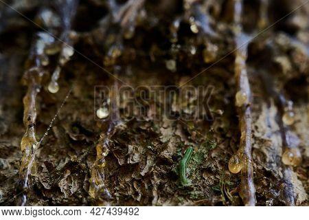 Beautiful Drop Of Resin On Pine Bark