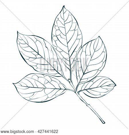 Botanical Hungarian Lilac Leaves Isolated On White Background