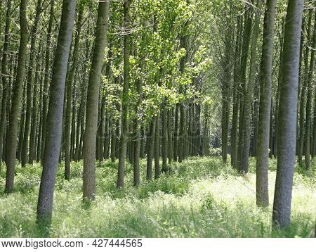 Intensive Cultivation Of Poplars With Long Trunk Planted To Obtain Cellulose For The Paper Industry