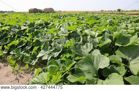 Many Green Plants In The Large Field Cultivated With Pumpkin And Courgettes In The Plain With Very F