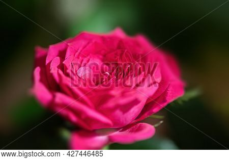 Floral Background. Close-up Image Of A Pink Rose In A Festive Bouquet
