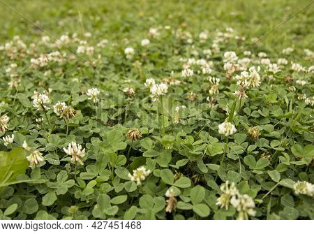 White Clover, Clover Leaves Canvas, Summer Greenery Carpet, Garden Photo, Cute Leaves And Flowers Im