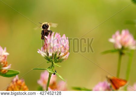 A Fluffy Bee Flies Up To A Pink Clover Flower To Collect Nectar. Blurred Summer Warm Background. Clo