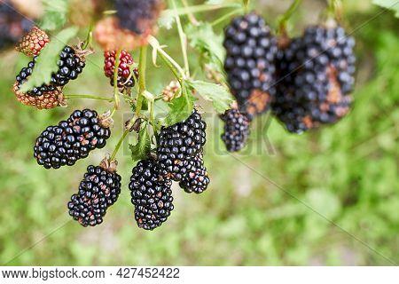 Many Ripe Organic Blackberries Growing On A Bush In A Summer Garden
