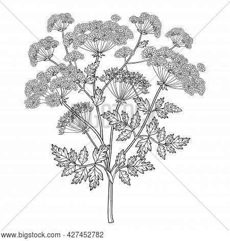 Vector Branch Of Outline Toxic Conium Maculatum Or Poison Hemlock Flower Bunch, Leaf And Seeds In Bl