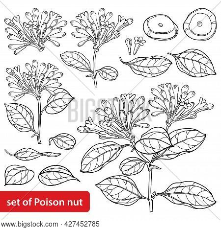 Vector Set Of Outline Toxic Strychnos Nux-vomica Or Strychnine Tree Flower Bunch, Leaf And Seeds In