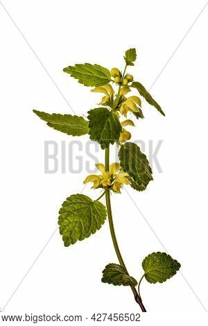 Flowering Yellow Archangel Plant Or Lamium Galeobdolon Argentatum Isolated On A White Background.