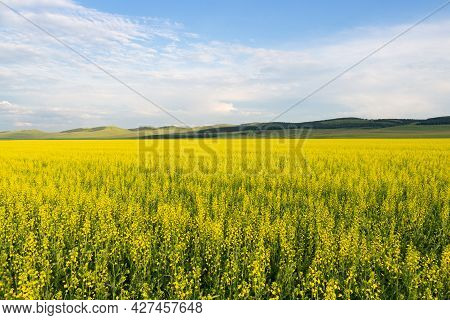 Summer Sunny Landscape With Yellow Fields Of Blooming Rapeseed With Green Hills Under A Gorgeous Blu