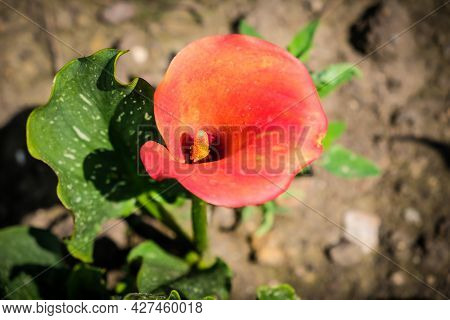 Close Up Of Colorful Flowering Calla Lily, Zantedeschia Aethiopica. Defocused