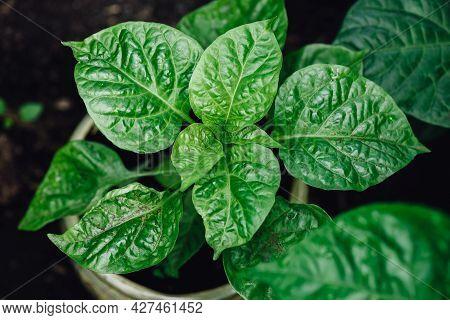 Plant Of Habanero Pepper In Pot In Backyard