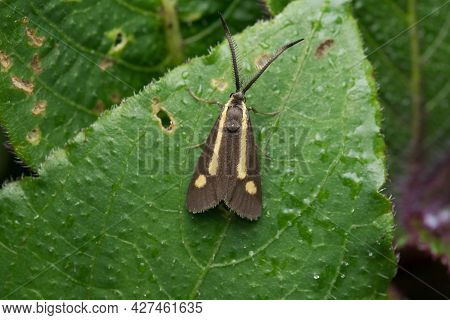 Brown Forester Moth Of Procridinae Family With Yellow Pattern Resting On Leaf