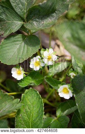 Blooming Bushes Strawberry On The Garden. Top View On White Flowers On The Bush. Plantation Strawber