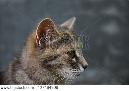 Domestic Cat Head In Profile On A Gray Background. Animal Portrait. Striped Tabby Female Shorthaired