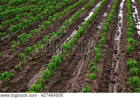 Field Of Rows Of Paprika Pepper Plants After Heavy Rain. Growing Vegetables Outdoors On Open Ground.