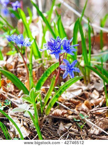 The first flowers - Crocuses. In green grass