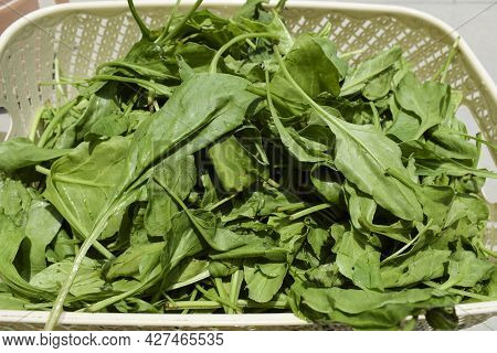 Freshly Harvested Organic Spinach Green Leafy Vegetable. Palak Or Green Spinach Cut Harvested Plucke