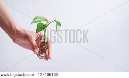 Female Hand Holding Young Shoot Plant Golden Pothos,epipremnum Aureum,devils Ivy,ivy Arum,ceylon Cre