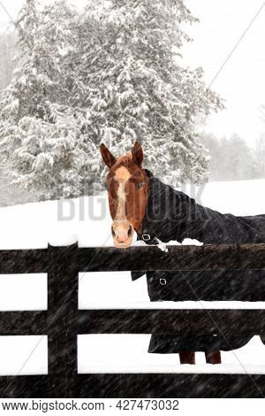 A Lonely Horse Stands Behind A Fence In This Mid-winter Snow Storm (blizzard)