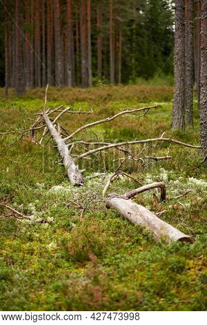 nature, landscape and environment concept - old fallen pine tree in forest